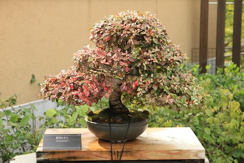 初雪かずら Hatsuyukikazura - 盆栽美術館 - bonsai museum