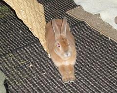 Scooter long mits (tammybeck) Tags: rabbit bunny konijn conejo scooter rex coelho lapin kaninchen coniglio kani 兔 cwningen ウサギ kanin 2011 кролик królik zec κουνέλι thỏ iepure kuneho králík กระต่าย sungura coinín קיניגל