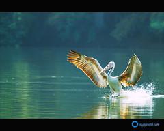Rising Star (shajuFX) Tags: pelican ranganathittu 70300 d60