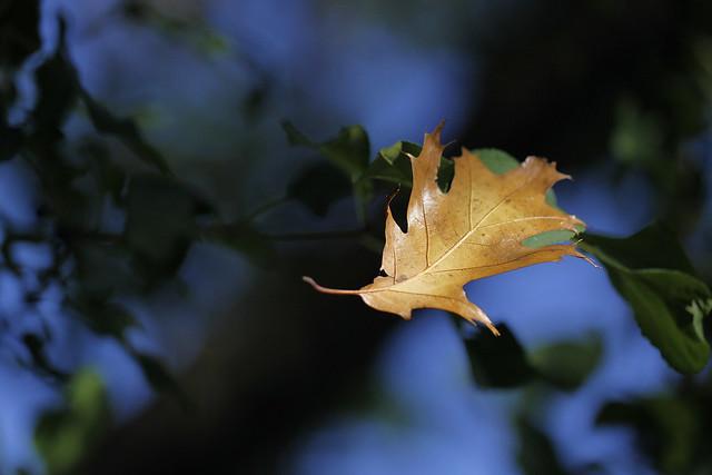 oak leaf3