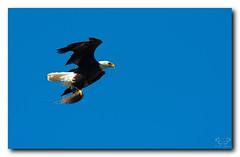 Eagle With Nesting Material (Nature Photos by Scott) Tags: wild bird nature birds outdoors orlando eagle florida greenwoodcemetery wildlife birding baldeagle birdsofprey americanbaldeagle scotthelfrichphotographycom