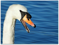 This swan had a lot to say! (macfudge1UK) Tags: uk autumn england white lake bird nature water fauna swan europe wildlife ngc waterbird lakeside waterfowl oxfordshire thelakes oxon muteswan cygnusolor hs20 2011 stantonharcourt allrightsreserved countryfile 10nw bbcautumnwatch 5wonderwall hs20exr fujifilmfinepixhs20exr fujihs20exr fujifilmhs20 rspblovesnature