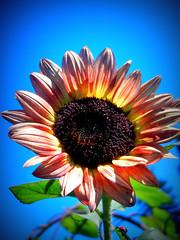 In the spotlight.. (Cherishlovespink) Tags: california blue flower sunflower ladybug applehill