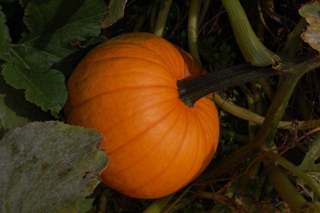 PumpkinsFarmFT