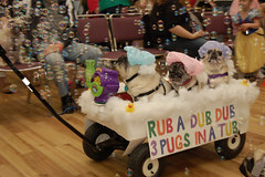 A puggy bubble bath! (joshcalebwray) Tags: costumes dogs halloween pugs pugoween