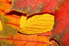 Autumn Leaves (jr2142) Tags: autumn macro leaves laub herbst bltter