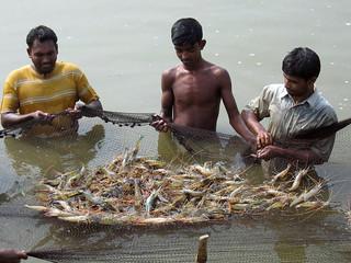 Prawn harvest, Bangladesh. Photo by WorldFish, 2008
