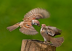 I'll Huff & I'll Puff!!      (Tree Sparrows In Action) (marsch1962) Tags: blur nature birds flying action wing puff treestump huff treesparrow bigwaters thewonderfulworldofbirds nikon300mmf28vrll