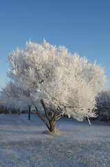 Hoar Frost (C-Dals) Tags: blue winter sky white tree nikon frost nikkor 1855mmf3556gvr d5100