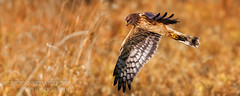 Harrier Series (3 photos) (guitarman4) Tags: bird nature wildlife flight raptor northern harrier ridgefield northernharrier birdperfect dennisdavenportphotographycom dennisdavenportphotography