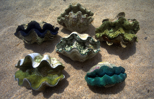 Six species of giant clams from Solomon Islands. Photo by Mike McCoy, 2001