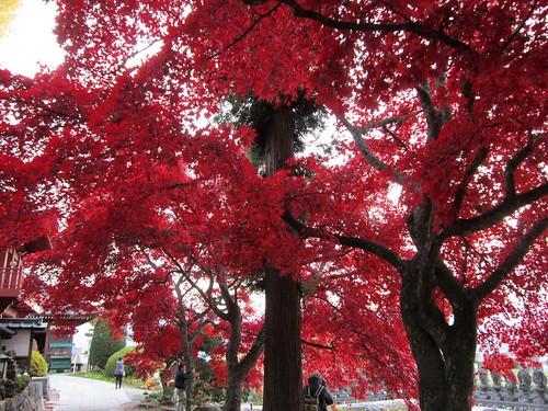 長円寺/楓の紅葉と参道 2011年11月8日15:48 by Poran111