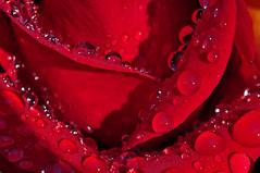Wear Your Red Dress (BKHagar *Kim*) Tags: flowers roses flower nature rain rose droplets al crystal blossom alabama athens bloom raindrops bkhagar