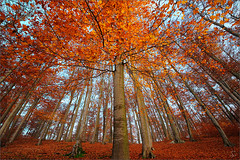 my favorite tree (Sandra Bartocha) Tags: autumn fall buchenwald herbst beecforest
