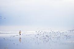 (alexis mire) Tags: seagulls beach birds flock jacksonville thesea theocean tenderhearted alexismire canonrebelt2i blueandblueandblue