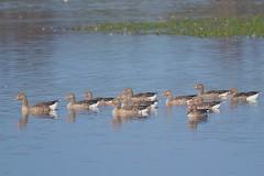 grauwe ganzen, Anse anser, Greylag Goose (peterbeek) Tags: greylaggoose watervogels grauweganzen anseanser