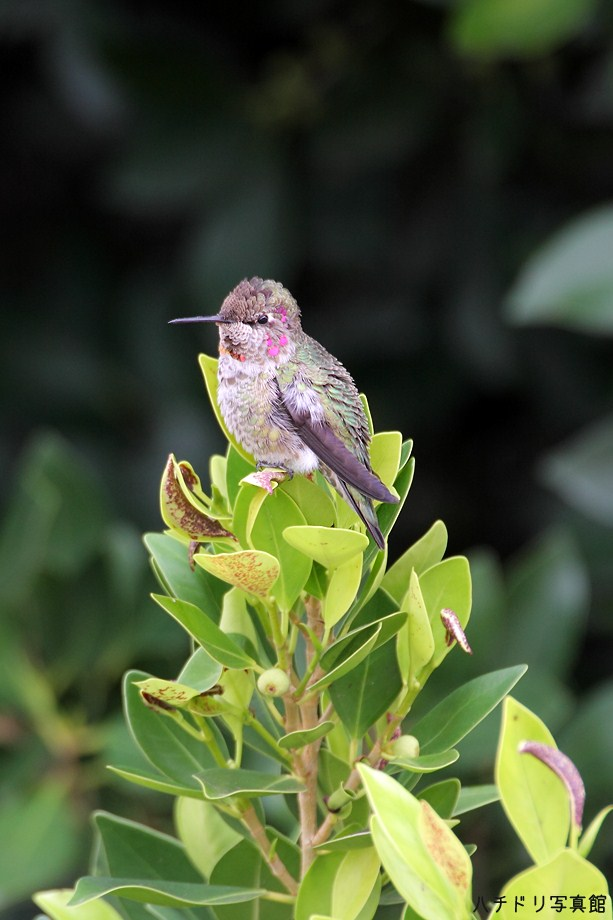 Anna's Hummingbird111111
