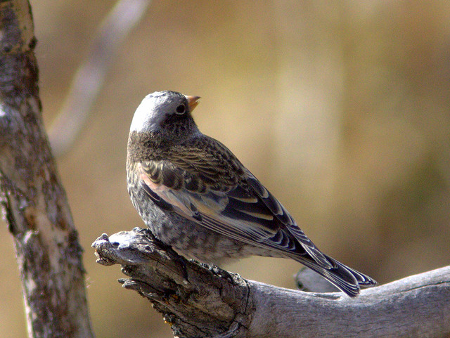 Black Rosy-Finch 2-20111112
