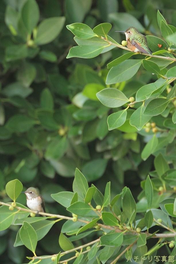 Allen's Hummingbird111311