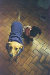 Leia e Omara, foto em 2011 com filme vencido em 1994 (Marco Gomes) Tags: brazil dog analog puppy xpro br saopaulo kodak sp kodachrome expired eph leia iso1600 cohab omara 5040 analogfilm expired1994 kodak5040eph iso1600400