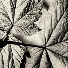 Silver leaf (travellingmac) Tags: derwentwater