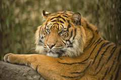 Resting Tiger (Cain Foot Photography) Tags: wild animal zoo rotterdam stripes wildlife tiger bigcat diergaardeblijdorp nikond90 flickrbigcats neofoot tp141 nikon80400mmvrf4556