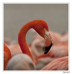 Je te vois (Patrick GOUJON) Tags: france bird nature animals fauna canon reflex photographer natural wildlife flamingo 5d provence animaux oiseau sud oiseaux watcher camar