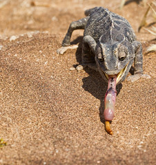 Gottcha again (Oliver C Wright) Tags: wildlife chameleon namibia