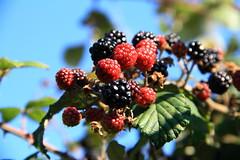 BLACKBERRIES (jmlille) Tags: fruit berries blackberry nordpasdecalais baies côtedopale mûre