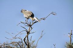 "Hron Cendr "" Vigilance "" (1) (lumer-photo-passion-83) Tags: bird nature animal oiseaux natureselegantshots panoramafotogrfico natureandpeopleinnature blinkagain"