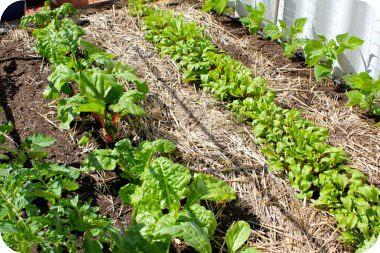 veggie-patch