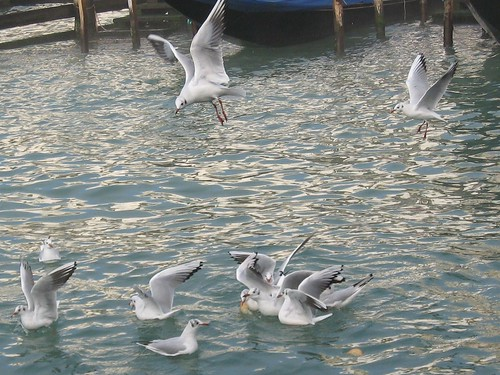 venetian gulls