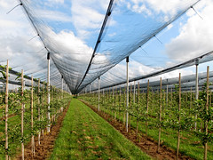 Fruit Cultivation under Hail Protection Net (Batikart) Tags: blue light shadow summer sky urban sun plant tree green art net nature leaves hail fruit canon germany geotagged deutschland licht vanishingpoint leaf triangle europa europe geometry sommer linie landwirtschaft natur pflanze meadow row symmetry line diagonal grn agriculture blatt effect protection sonne schatten baum netz fruittree rasen diagonale g11 fellbach badenwrttemberg obstbaum symmetrie swabian 2011 reihe 100faves 50faves fluchtpunkt viewonblack fruitcultivation batikart obstanbau hagelschutz canonpowershotg11 mygearandme musictomyeyeslevel1