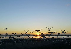 """Sunset gulls on the estuary • <a style=""""font-size:0.8em;"""" href=""""http://www.flickr.com/photos/36398778@N08/6222703252/"""" target=""""_blank"""">View on Flickr</a>"""