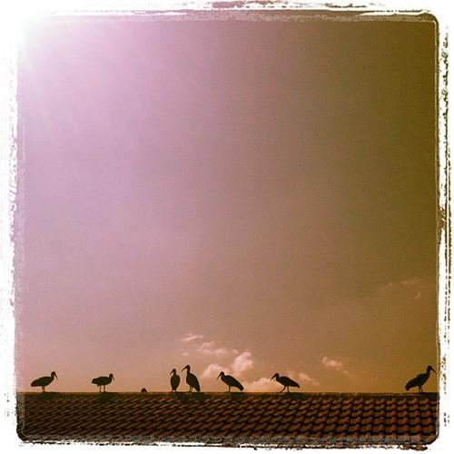 Hadadas on the roof
