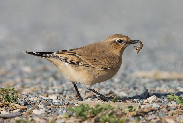 wheatear + worm 2