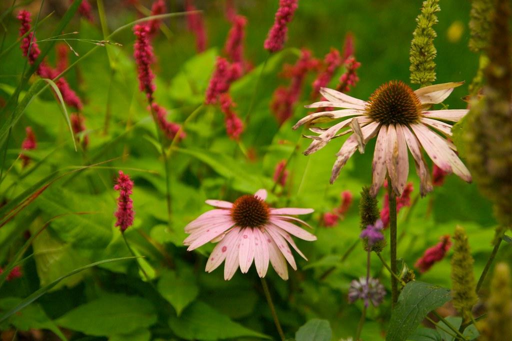 echinacea purpurea  628