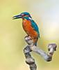 Alcedo atthis (Celestinocosta) Tags: birds aves capture selvagem alcedoatthis guardarios bougado celestinoocosta tordozonal mygearandmeplatinum artistoftheyearlevel3
