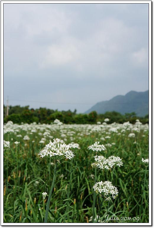 韭菜花~ (5)