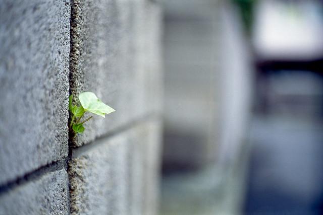 塀の隙間の芽吹き