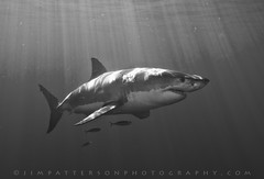 Please Read and Sign the Petition! (Jim Patterson Photography) Tags: ocean sea fish nature mexico marine pacific wildlife sharks baja predator greatwhiteshark guadalupeisland jimpattersonphotography jimpattersonphotographycom seatosummitworkshops seatosummitworkshopscom