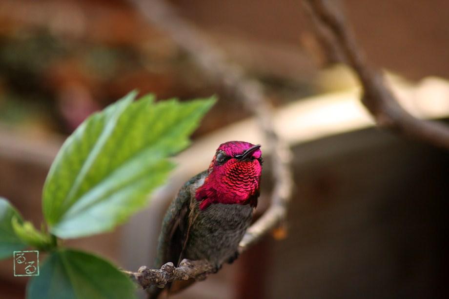 Anna's Hummingbird 101811