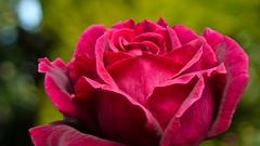 Red, red rose (Deb Jones1) Tags: flowers red flower macro nature beauty rose canon garden outdoors 1 jones flora explore blooms deb flickrduel debjones1