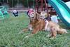 IMG_9061 (drjeeeol) Tags: dog pet halloween goldenretriever costume backyard katie tiger superman charlie will superhero cape supergirl triplets toddlers 2011 36monthsold