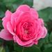 ピンク スワニー(Pink Swany)