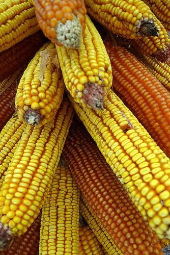 Corn for polenta