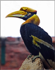 GREAT INDIAN HORNBILL (Shaun's Nature and Wildlife Images....) Tags: birds shaund