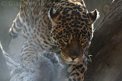 IMG_2439 ([]Giacomo[]) Tags: africa wild orange animal zoo dangerous feline wildlife balance jaguar predator creature animale carnivore equilibrio giaguaro selvaggio