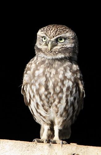 LITTLE OWL by Dean Eades - BirdMad