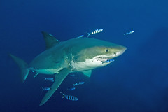 GWS7Oct25-11 (divindk) Tags: shark diving greatwhiteshark cagediving guadalupeisland diverdoug